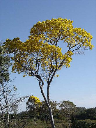 Goiás - Yellow Ipê in Goiás.