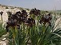 Iris bostrensis (6945052038).jpg