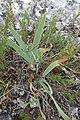 Iris germanica, Iridaceae.jpg