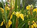 Iris pseudacorus - paleyellow iris - Flickr - Matt Lavin (4).jpg
