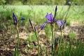 Iris sibirica (32908975547).jpg