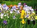 Irises in the Botanical Garden 05.JPG