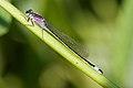 Ischnura elegans 3(loz).jpg