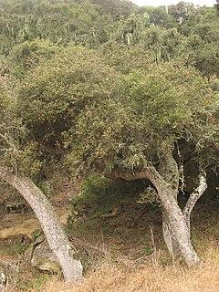 <i>Quercus tomentella</i> Species of tree
