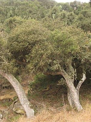 Wildlife of the Channel Islands of California - An island oak on Santa Rosa Island.