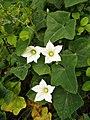 Ivy gourd (Coccinia grandis) flowers.jpg