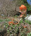 J20160218-0041—Castilleja latifolia—RPBG (25023963951).jpg
