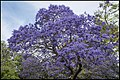 Jacaranda in Grafton too early-1 (30390464842).jpg
