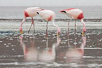N poor Flamingos (Phoenicoparrus jamesi)