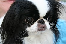 Gifts for Japanese Chin Dog Lovers
