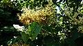 Japanese Tree Lilac (35095976086).jpg