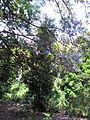 Jardín canario 67.JPG