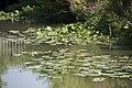 Jaunet d'eau (Nuphar lutea).jpg