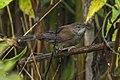 Javan Bush-Warbler - Ijen - East Java MG 7413 (29696606532).jpg