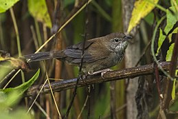 Javan Bush-Warbler - Ijen - East Java MG 7413 (29696606532).jpg