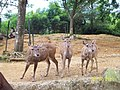 Javan rusa Taman Safari.jpg