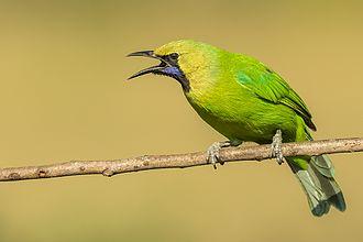 Jerdon's leafbird - Image: Jerdon's Leafbird