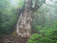 Jōmon Sugi(Japanese:縄文杉), the largest specimen of Cryptomeria known, on Yakushima, Japan