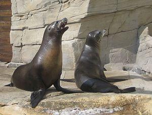 Nausicaä Centre National de la Mer - California sea lion.