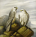 Josef Wolf (attr) Gyr falcons on a rocky ledge.jpg