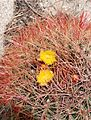 Joshua Tree National Park - Barrel Cactus (Ferocactus cylindraceus) - 2.JPG