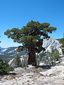 Juniperus occidentalis subsp australis Yosemite.jpg
