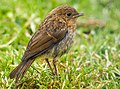 Juvenile Robin (19624605565).jpg