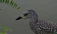 Juvenille Yellow-Crowned Night Heron (36396369313).jpg