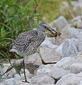 Juvenille Yellow-Crowned Night Heron (37068398561).jpg