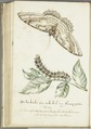 KITLV - 37A101 - Markée, Cornelis - Branch of the gummi-gutta tree, with caterpillar and butterfly - Brush drawing - Circa 1763.tif