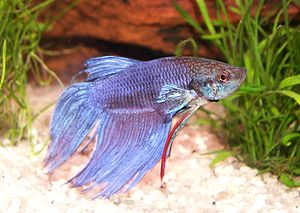 Siamese fighting fish, B. splendens, is often ...