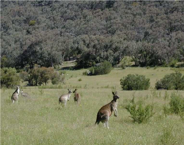 File:Kangaroos Maranoa.JPG