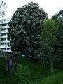 Kastanienbaum in Sindelfingen - geo.hlipp.de - 10701.jpg