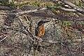Kawasemi (Common King Fisher) - カワセミ - panoramio (1).jpg