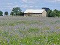 Kindelwald - Kornblumenfeld (Field of Cornflowers) - geo.hlipp.de - 39569.jpg