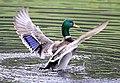 King of Ducks (15384519477).jpg