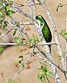 Klaas's Cuckoo (Chrysococcyx klaas) male (32185321011).jpg