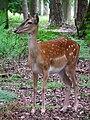 Klein-Auheim Damhirsch Wildpark Alte Fasanerie Juni 2012.JPG