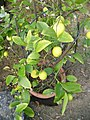 Kleiner Zitronenbaum.jpg