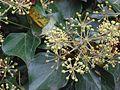 Klimop bloeiend (Hedera helix) (2).jpg