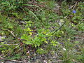 Knuckles Mountain Range plants 10.JPG