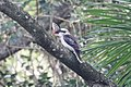 Kookaburra eating (31475796284).jpg