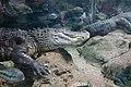 Krokodil - panoramio (1).jpg
