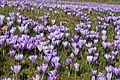 Krokusblüte in Drebach..IMG 0927WI.jpg