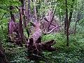 Kuří, park západně od vsi, spadlý strom (03).jpg