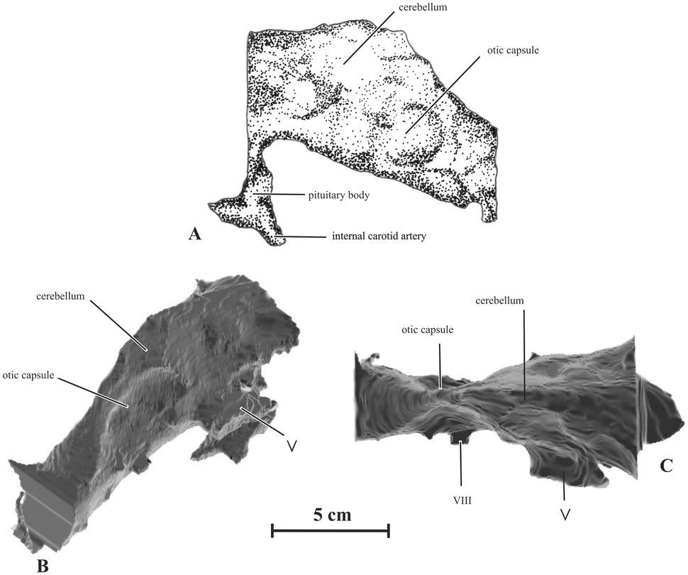 Kundurosaurus reconstructed endocranial