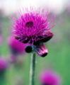 Kwiat ostu 425.jpg