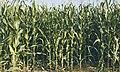 LPCC-794-Plantes de blat de moro.jpg