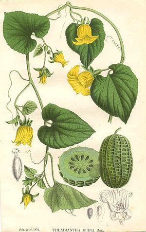 Charles François Antoine Morren - Thladiantha dubia from La Belgique horticole