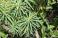 La Palma - Santa Cruz - Caserío Lomo de Los Gomeros + Euphorbia lamarckii 02 ies.jpg